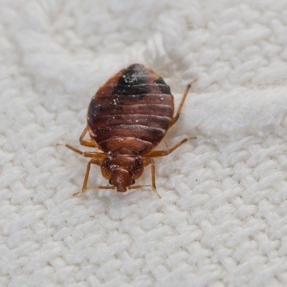 Bed Bugs, Pest Control in Morden Park, Morden, SM4. Call Now! 020 8166 9746