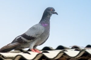 Pigeon Pest, Pest Control in Morden Park, Morden, SM4. Call Now 020 8166 9746