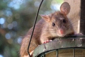Rat Infestation, Pest Control in Morden Park, Morden, SM4. Call Now 020 8166 9746
